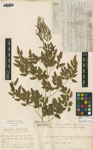 Revision of monotypic genus llavea cryptogrammoideae for Anales del jardin botanico de madrid
