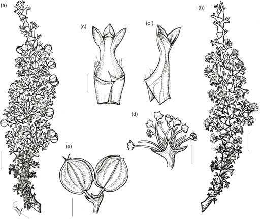 taxonomic revision of the south american genus mulinum