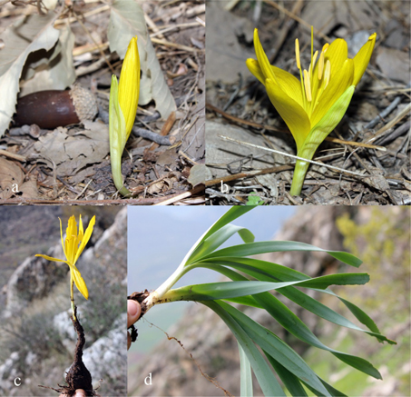 On the genus sternbergia amaryllidaceae in iraq for Anales del jardin botanico